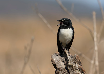 WAGTAIL WILLY_05
