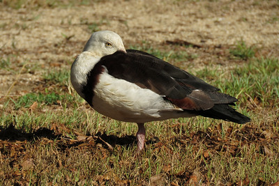 DUCK RADJAH SHELDUCK_43