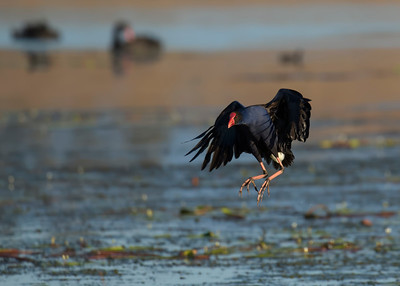A Purple Swamphen coming in to land near me as I was stalking another bird. Sequence as shot.