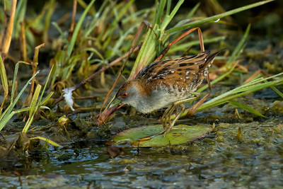 "The most difficult bird I have ever tangled with. Australia's smallest crake at 15 cm ( 6"" ), its always in the shade and virtually never stops moving. They don't come any harder."