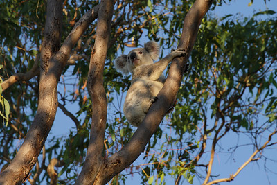I photographed this grey morph Koala just minutes past sunrise.  Marlis sighted its silhuette, whilst we were driving on an inland country road. Great bit of spotting.