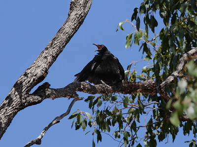 CHOUGH WHITE-WINGED_01
