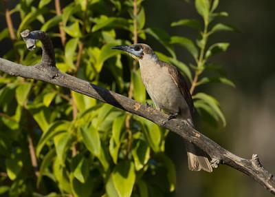 FRIARBIRD LITTLE J_02