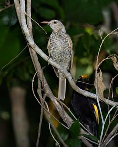 BOWERBIRD REGENT M I_01