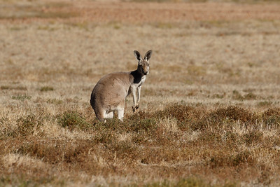 A very regal looking female Red Kangaroo.