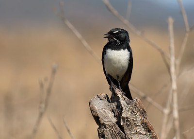 WAGTAIL WILLY_06