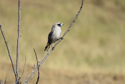 WOODSWALLOW BLACK-FACED_01