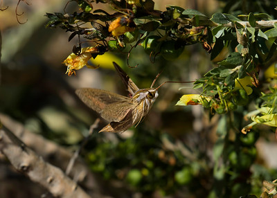 The closest thing to a hummingbird that I have ever seen. The Grapevine Hawk Moth. Those wings seem to be moving at supersonic speeds. 1/2500 was not enough to stop the wings in motion. Given half a chance again I'd instantly go to 1/5000 or even 1/8000 th, to freeze the motion. On top of that, the moth is only at a spot for a second or two, then it flies off to the next flower. Thus it is extraordinarily difficult to lock onto it long enough to get a sharp image. Then, the rather unusual fact that it was feeding in daylight, they seem to prefer the night time usually. One very rare capture.