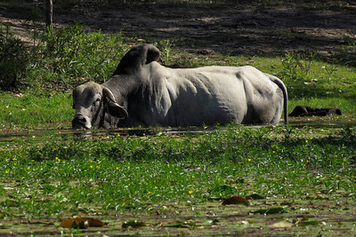 A Brahman Bull feeding on water plants growing in the lake. Late afternoon shot.