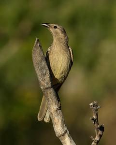 BOWERBIRD GREAT_05