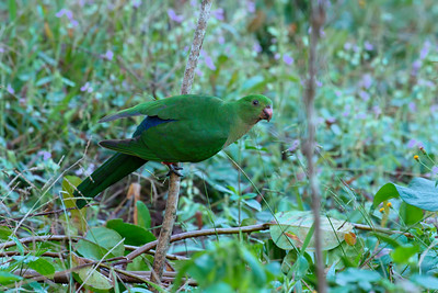PARROT KING F_03