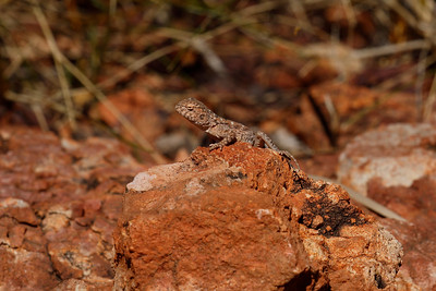 The Slaters Ring-tailed Dragon, a very small lizard found in truly dry arid country. The rocks and the sand are really that strongly red/orange.