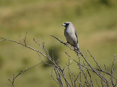 WOODSWALLOW BLACK-FACED_02