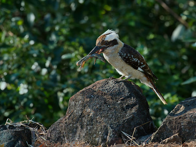 A Laughing Kookaburra, seconds after it caught this lizard at the rockwall, near the rainforest. In desperation the lizard shed its tail, but it was not good enough to fool the crafty Kookaburra. I had just opened the front door to step outside when I saw it capture the lizard. Got the camera in one heck of a hurry.