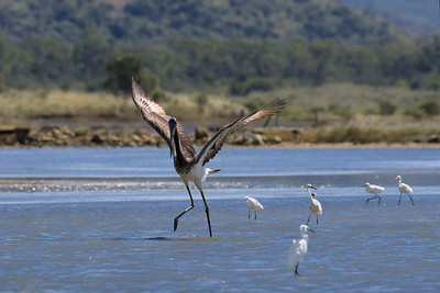 A couple of juvenile Black-necked Storks looking for food in the low tide shallows near Townsville. Mum was nearby.