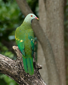FRUIT-DOVE WOMPOO_29