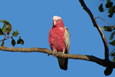 The female Galah basking in the early sun, just after sunrise.