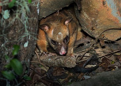 A Common Brushtail Possum about to go to sleep in a rock hollow.
