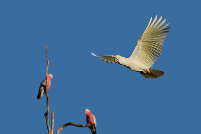 A Sulphur-crested Cockatoo flew past me as I was photographing the Galahs, seen in the bckr. Just after sunrise.