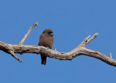 The little Little Woodswallows, all fluffed up trying to warm up on a very cold morning.