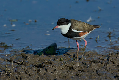 The small Red-kneed Dotterel, at the lake's edge.