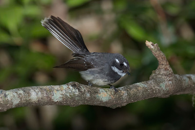 FANTAIL GREY_01