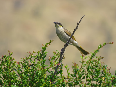 HONEYEATER SINGING_01