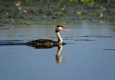 GREBE CRESTED_03