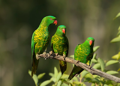 A trio of jovial Scaly-breasted Lorikeets, very late in the afternoon.