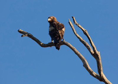 Juvenile Wedge-tailed Eagle, warming itself up just after the sunrise, on what was a 1 degree C morning.