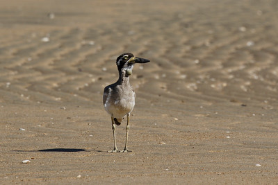 We found this juvenile Beach Stone-curlew up at Bowen. It had the most remarkable growth on its neck, that I have ever seen on a bird. I have no idea as to what that growth was. The juvenile seemed to be quite healthy otherwise, running around with the parents.