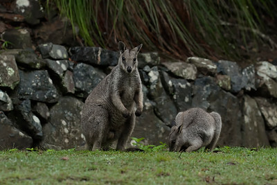 The Unadorned Rock Wallabies, rare and very skittish small rock wallabies, which live in very dense and rocky rainforests. Image shot at sunrise in the shadow of a hill on a totally overcast day, in extremely dark conditions, at ISO 3200. At first light the wallabies come to this house right on the edge of the rainforest, to drink water from the birdbaths and eat grass on the lawns. Then, as it gets lighter they disappear again. We got there in the dark, set ourselves up, in total camo gear, let them come closer and photographed without moving a muscle. Any movements were a millimetre at a time, so as not to spook them off. The toughest and the most difficult extremely low light conditions I have ever shot under.