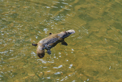 Platypus image shot very late in the afternoon.