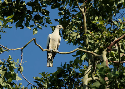 PIGEON PIED IMPERIAL_19
