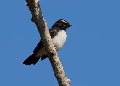 WAGTAIL WILLY J_01