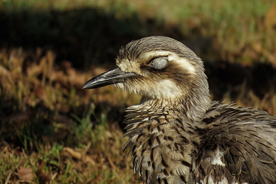 When I first saw this eye I felt sure it had to be a fungal growth of some kind. Then the bush stone-curlew opened the eye and I realized that it had to be the most unusual nictitating membrane that I have ever seen.
