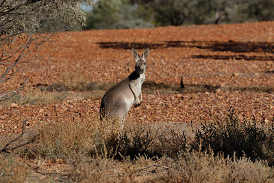 Female Red Kangaroo, which actually is grey in colour. Such a distinct species, being the largest roo and having those very long pointed ears. As you can see on the images that is one tough country to survive in. It is beyond me how they manage to survive out there.