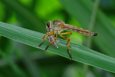Truly a ferocious hunter, the Robberfly.