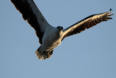 A White-bellied Sea Eagle, virtually right on sunset. This is not a crop, it really flew that close to me.