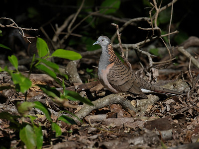 A Bar-shouldered Dove looking for food on the edge of the rainforest. I waited till it entered a sunlit patch of ground and shot then. No flash used.