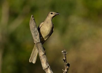BOWERBIRD GREAT_04
