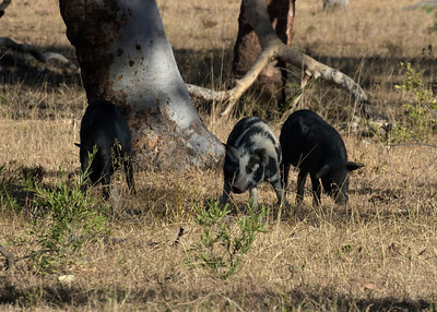 Wild pigs spotted near the Burdekin Dam. As there were no large razorbacks to be seen I worked my way to the closest three of the bunch.
