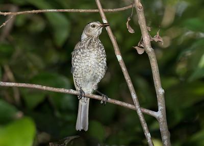BOWERBIRD REGENT M I_02