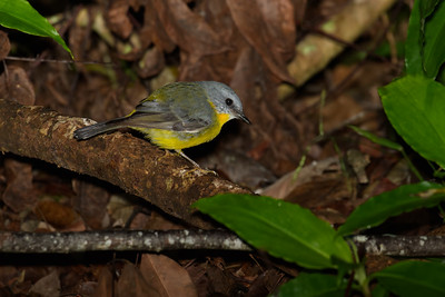The Eastern Yellow Robin looking for food on the rainforest floor.