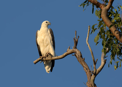 The White-bellied Sea Eagle, roosting on the tree. Image taken just after sunrise, with the sun bathing the eagle with the golden light.