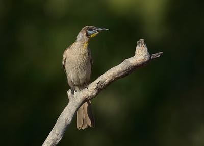FRIARBIRD LITTLE J_01