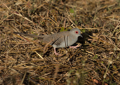 The small Diamond Doves, looking for seeds in a drought stricken landscape. Tough, tough going !