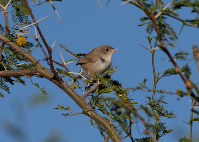 The female White-Winged Fairy-Wren. Very plain looking as opposed to her cobalt blue coloured counterpart.