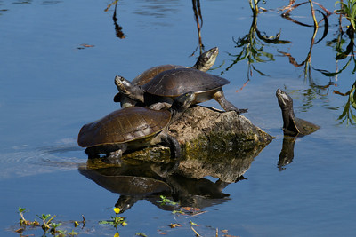Three tortoises happily soaking up the warm winter sun whilst the fourth is missing out. This rock was obviously prime real estate, on the lee side of the lake.