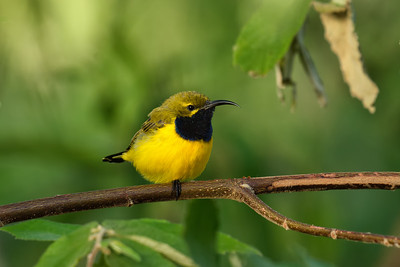 The male Sunbird, one of the smallest of the Australian birds.